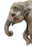 Profile portrait of a happy elephant Royalty Free Stock Images