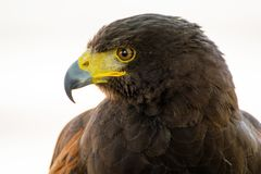 Profile portrait of Harris Hawk bird of prey. royalty free stock photos