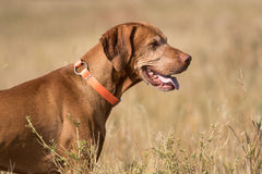 Profile portrait of a hunting dog outdoors Royalty Free Stock Photos