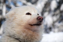 Profile portrait of husky dog Stock Image