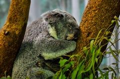 Koala bear sleeping in tree. Profile portrait of Koala bear sleeping in branches of tree Stock Image
