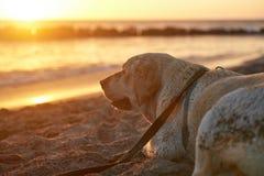 Profile portrait of labrador dog Stock Photography