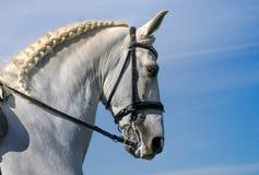 Lipizzan horse profile royalty free stock image