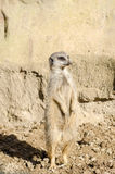 Profile Portrait on a Lone Short-Tailed Meerkat Standing to Atte Royalty Free Stock Photo