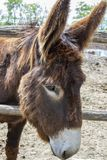 Profile portrait of burrow. Profile portrait of long haired, long eared burrow in farm corral royalty free stock image