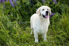 Profile portrait of lovely golden retriever dog standig in the green grass and violet flowers. Profile portrait of lovely golden retriever dog standing in the Royalty Free Stock Photo