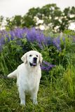 Profile portrait of lovely golden retriever dog standig in the green grass and violet flowers. Profile portrait of lovely golden retriever dog standing in the Stock Image