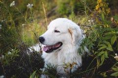 Profile Portrait of lovely maremma sheepdog. Big white fluffy dog posing in the forest stock photo