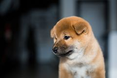 Profile portrait of lovely Shiba Inu dog puppy on a dark background. Red Japanese cute puppy royalty free stock photography