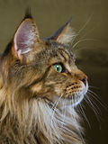 Profile portrait of Maine Coon cat. Portrait of beautiful brown tabby Maine Coon cat Stock Photos