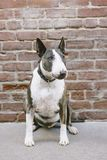 A Bull Terrier Dog Sits in Front of a Brick Wall stock photos