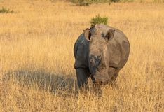 Profile portrait of male white rhinoceros, Cerototherium simium, in African landscape in late afternoon sun. In South Africa royalty free stock image