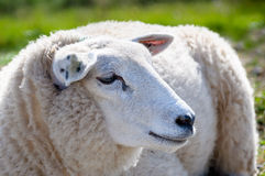 Profile portrait of a mature sheep from close Royalty Free Stock Photo