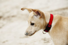 Puppy Profile Portrait. Profile portrait of a 4 months old beije female puppy wearing a red dog collar, on the blurry background of beach sand Stock Images