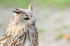 Profile portrait of night quiet eagle-owl or bubo. Profile portrait of night quiet prey bird eagle-owl or bubo with ear-tufts against blurred background Stock Images