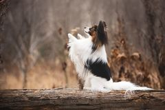 Profile portrait of Papillon dog sitting with paw up in the forest. Beautiful and happy Continental toy spaniel