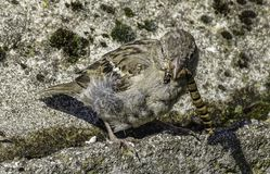 Passer domesticus with caterpillar. Profile portrait of passer domesticus bird eating caterpillar on rocks outdoors on sunny day royalty free stock image