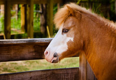 Profile portrait of pony at farm Royalty Free Stock Images
