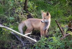 Red fox cub hunting Stock Photo