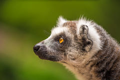 Profile portrait of Ring-tailed Lemur Stock Photography