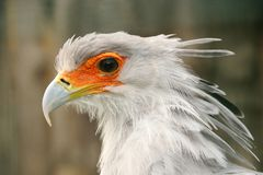 Profile portrait of secretary bird. Significant orange area around eye stock photos