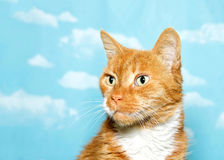 Profile portrait of a senior cat, orange and white on sky background Stock Photography