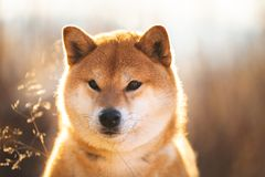 Serious red Shiba inu dog sitting in the field at sunset. Profile portrait of a serious red dog breed Shiba inu sitting in the field at sunset. Beautiful royalty free stock image