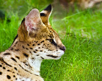 Profile portrait of serval Stock Image