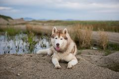 Profile portrait of siberian husky dog with brown eyes lying on the sand near the pond at seaside at sunset. Profile Portrait of gorgeous beige and white royalty free stock photo