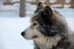 Profile portrait of  sled dog Stock Photography
