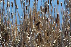 Songbird in reeds. Profile portrait of songbird sitting on reeds and cattails against blue skies on sunny day Royalty Free Stock Images