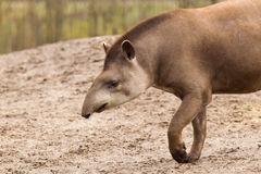 Profile portrait of south American tapir Stock Images