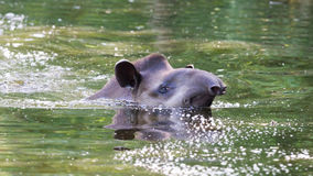 Profile portrait of south American tapir in the water Royalty Free Stock Image