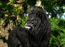 Black Lion. Profile portrait of standing male lion with fir darkened black outdoors on sunny day Royalty Free Stock Images