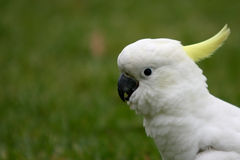 Profile portrait of a sulphur crested cockatoo. Royalty Free Stock Photos