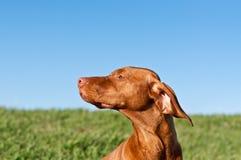 Profile Portrait of a Sunlit Vizsla Dog. A profile shot of a sunlit Vizsla dog in a green field with a deep blue sky Royalty Free Stock Photography