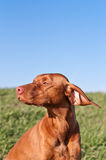 Profile Portrait of a Sunlit Vizsla Dog Royalty Free Stock Image