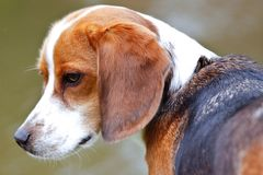 Profile portrait of thoughtful beagle royalty free stock image
