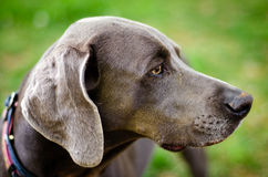 Profile portrait of Weimaraner Royalty Free Stock Image