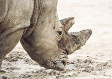 Profile portrait of a White rhinoceros Royalty Free Stock Photos