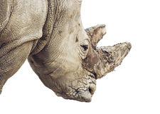 Profile portrait of a White rhinoceros - portrait on the white b Stock Photos