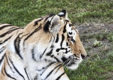 Profile portrait of a wonderful bengal tiger. In the wild royalty free stock photo