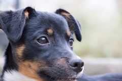 Profile of black and tan puppy. Profile portrait of young black and tan puppy outdoors royalty free stock images