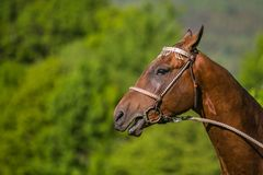 In profile portrait of young brown stallion of Akhal Teke horse stock photo