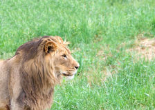 Profile portrait of a young male lion. Portrait of a young male lion in front of a field of grass, looking to viewers right Stock Image