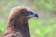 Profile of predatory bird hawk Royalty Free Stock Photo