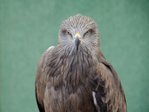 Profile of predatory bird hawk Royalty Free Stock Image