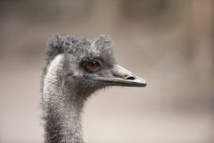 Profile of pretty emu bird Royalty Free Stock Photo
