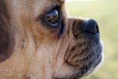 Very Close of Profile pug . royalty free stock photos