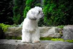 Profile Puppy. Puppy white playful toy dog female landscape fur cute Royalty Free Stock Images